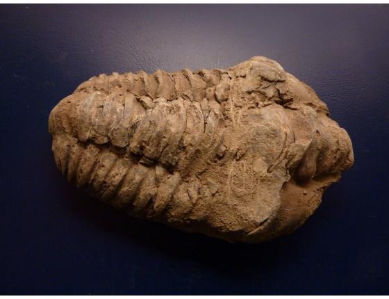 Trilobit Calymene sp.