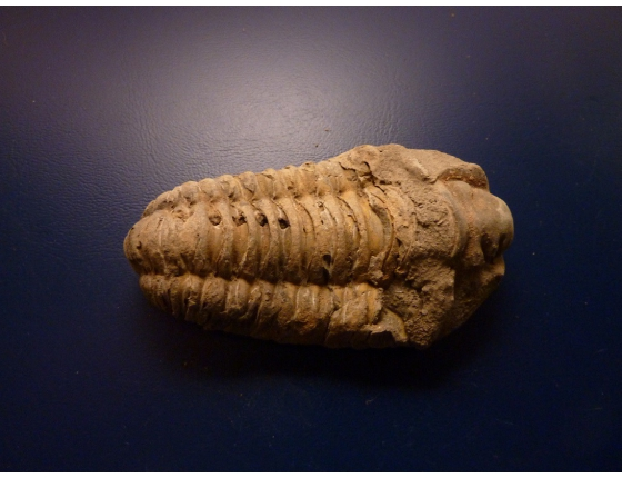 Trilobit Calymene sp.