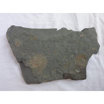 Amonit na břidlici, oboustranný - Holzmaden, Německo
