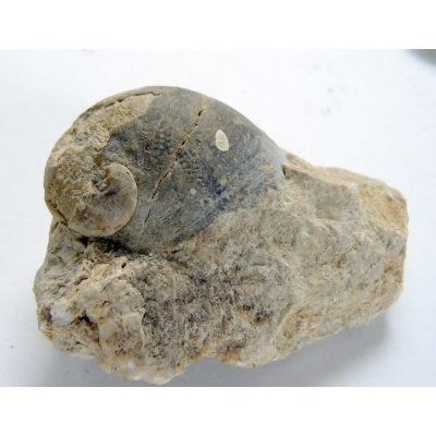 Fosílie: Platyceras gregarium - Devon, oblast Karlštejnsko