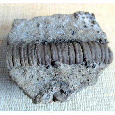 Fossilien: Stamm Crinoids Scyphocrinites - Bereich Karlštejn