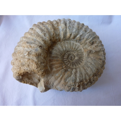 Ammoniten großen 1.685 g